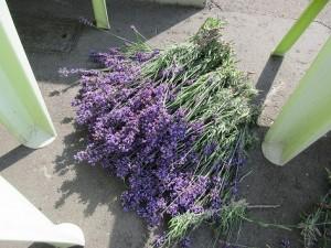 ラベンダーポプリラベンダー収穫⑤