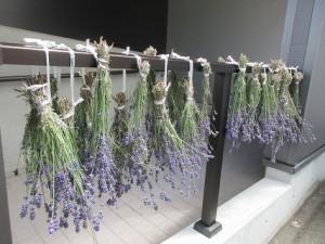 ラベンダーポプリラベンダー収穫⑥